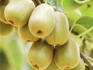 红心猕猴桃果园四季深翻方法