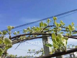【专家指导】王西锐: 4月份猕猴桃管理技术