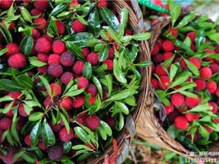 南北方盆栽地栽树莓杨梅苗,东魁杨梅苗,果树苗品种杨梅树苗