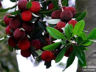 水果树苗木嫁接黑果杨梅树苗-大黑炭杨梅苗 单果重11~15g