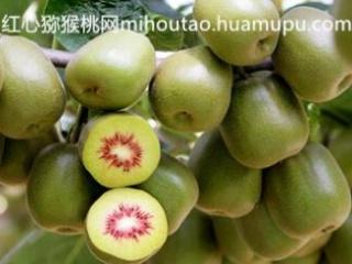 红心果猕猴桃苗 红华 红阳猕猴桃树苗 耐储存运输 色香味俱佳