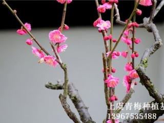 优质红梅小苗批发 红梅树苗供应,成活率高,种植基地自产自销