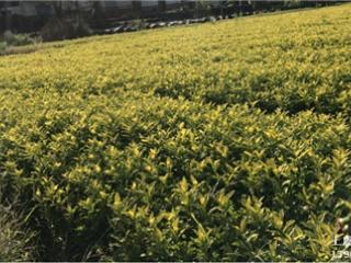 买黄金芽茶苗到上虞茶苗培育基地 品种纯正,基地供应