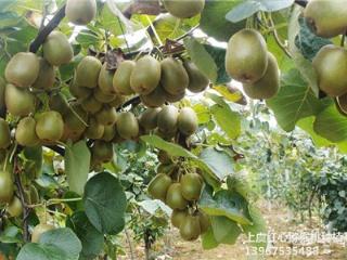 猕猴桃苗双季龙眼: 双季龙眼是一年能多次开花结果