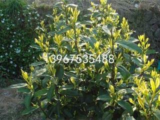 黄山中黄2号茶苗的价格及品种介绍