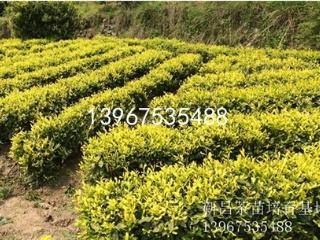 新昌中黄3号茶苗的价格及品种介绍