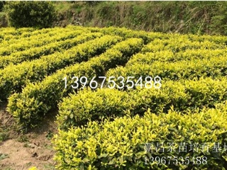 云南中黄3号茶苗的价格及品种介绍