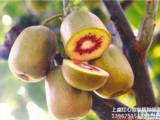福建红阳红心猕猴桃苗品种介绍与栽培方法