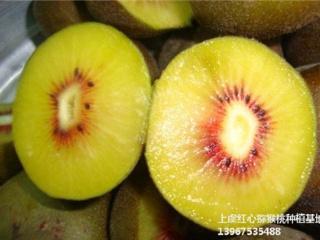 广东红阳红心猕猴桃苗品种介绍与栽培方法