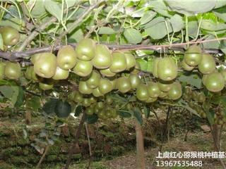 铜陵红阳红心猕猴桃苗品种介绍与栽培方法