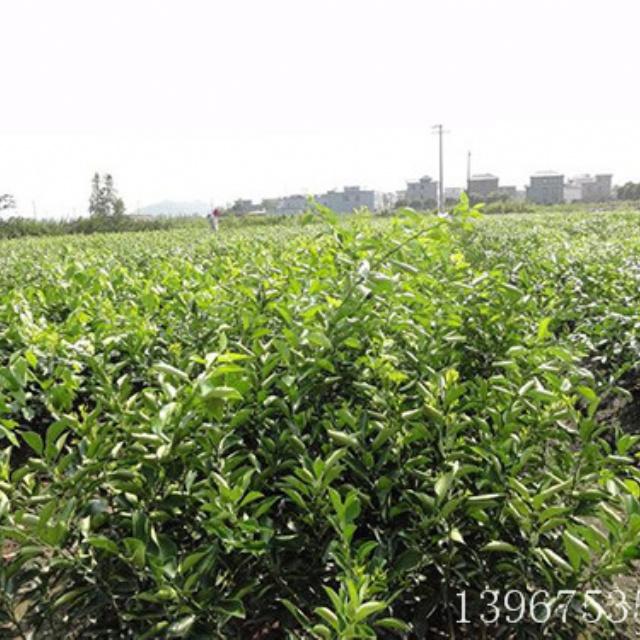 红美人柑桔苗1-3年生