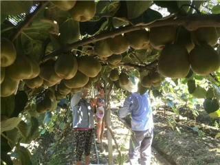 2018年8月红心猕猴成熟季如何进行果园管理
