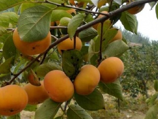 大年丰产日本甜柿春、夏、冬如何修剪管理