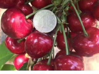 樱桃常见害虫防治需用药品介绍