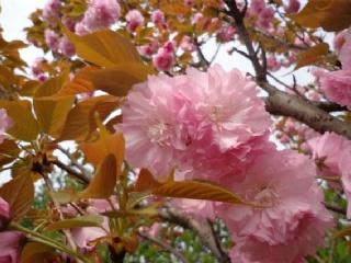 樱花苗定植后管理养护