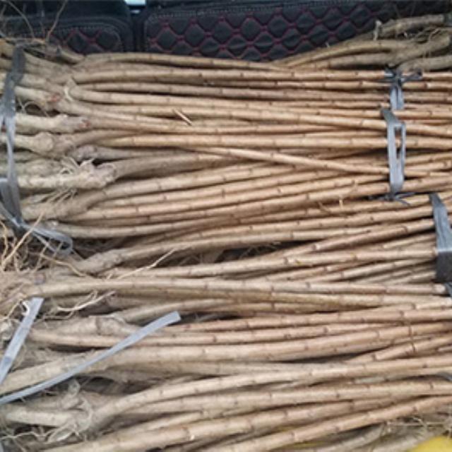 贵州六马蜂糖李树苗