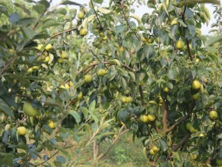 黄金梨树苗种植技术黄金梨采后管理
