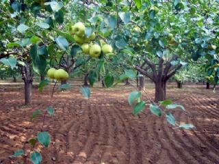 黄金梨丰产栽培技术管理
