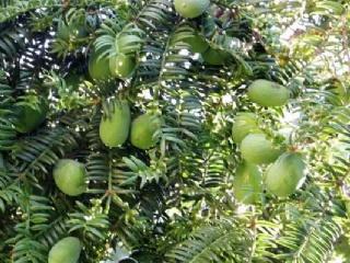 香榧生长成熟期几年 香榧苗从栽培到结果需要几年