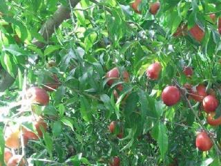 夏季油桃如何管理?