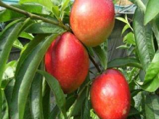 油桃树早结果与多结果的修剪措施