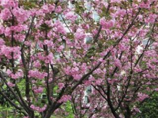 未来10年我国樱花苗木需求量将增至500亿元