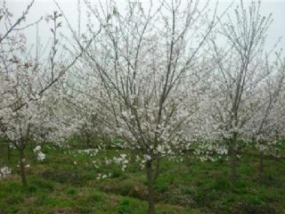 尤溪:建成福建面积最大的樱花基地