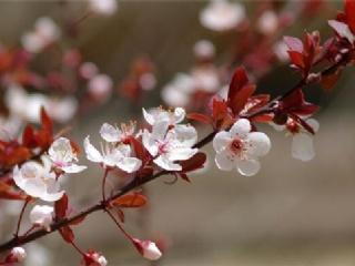 紫叶李和樱花怎么辨别?