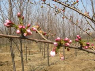 樱花嫩枝扦插与繁殖技术