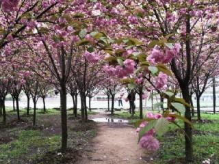 夏季武汉地区樱花管理