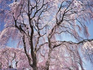 """樱花树变""""摇钱树"""",苗木市场越来越景气!"""