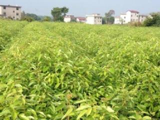 绍兴上虞龙脑樟于2011年引种被当地人称为摇钱树