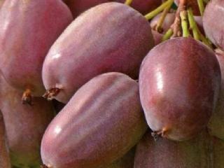 软枣猕猴桃苗价格适合哪些地方种植