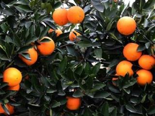 红肉脐橙品种特点简介