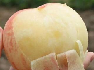 中熟品种奉化玉露(奉化水蜜桃)特性