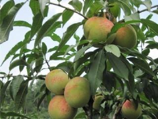 迟熟桃:脆蜜桃品种特性