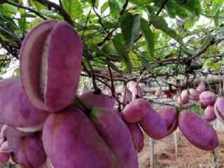 八月瓜(八月炸)品种特点介绍