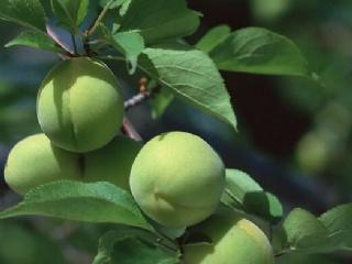 长农17青梅品种特点介绍