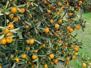 脆皮金桔品种特点介绍
