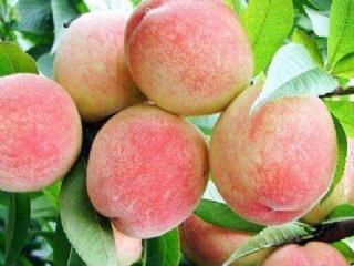 水蜜桃种类及品种介绍