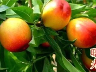 油桃:曙光品种特点介绍