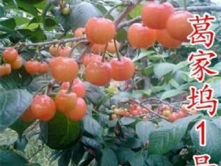 葛家坞樱桃品种特点介绍