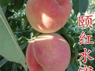 优良晚熟桃品种:颐红水蜜桃
