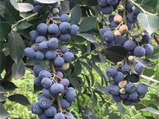 蓝莓:绿宝石蓝莓苗品种特性介绍