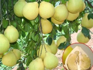 柚子如何实现高产栽培?掌握正确的肥料水分管理技术很关键