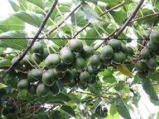 软枣猕猴桃苗种植基础技术解答