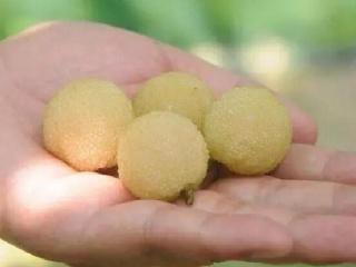 上虞二都杨梅种植基地水晶杨梅苗 白沙杨梅苗树苗价格