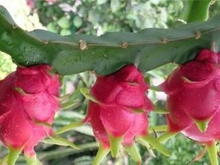 火龙果的品种特点介绍