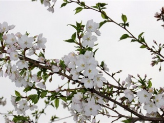 打造美丽乡村,装饰家乡樱花是首选