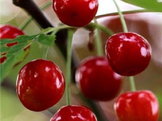 樱桃种植基地
